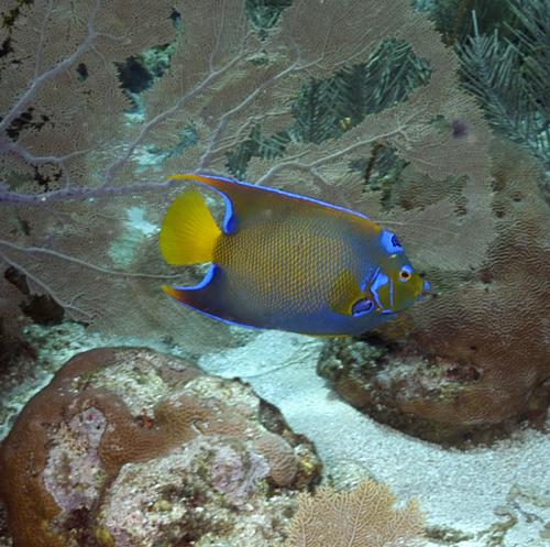 Roatan Coral Reef Fish Coral Reefs Fish And
